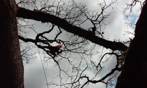 Tree Service - Large Maple Pruning