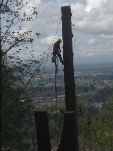 Tree Service - Large Maple Trunk Removal